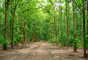 More Benefit with Sustainable Teak Plantation